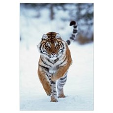 Siberian Tiger Running In The Snow Framed Print